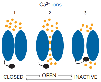 Development of a Cav 1 3 channel assay using optogenetic