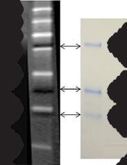 protein estimation by biuret method pdf