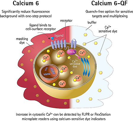 FLIPR Calcium Assay Kits Provide Homogeneous Solution for GPCRs and Ion Channels