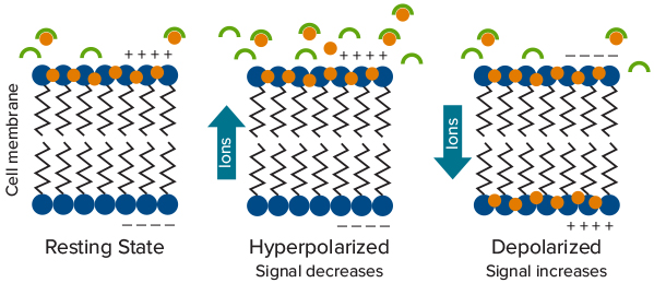 Fluorescence Intensity Changes with Increase or Decrease in Cellular Membrane Potential