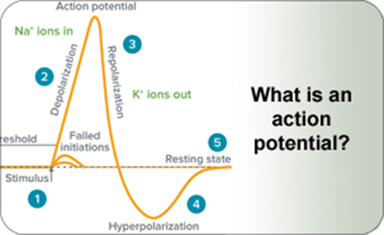 What is an action potential?