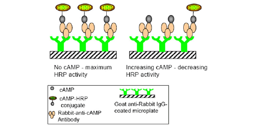 cAMP Assays (GPCR)