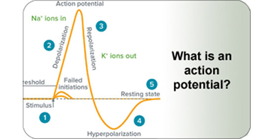 what-is-action-potential