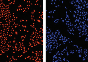 Alternatives to DAPI staining: imaging and counting live cells
