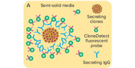 Clone productivity screening and titer