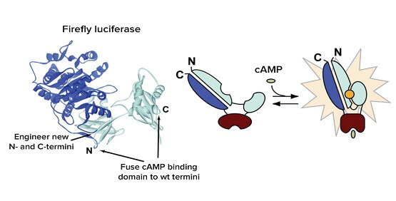 GPCR second messenger signaling