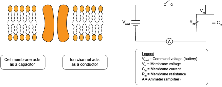 What Is The Voltage Clamp Method Molecular Devices