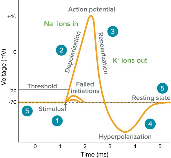 Image result for action potential, images