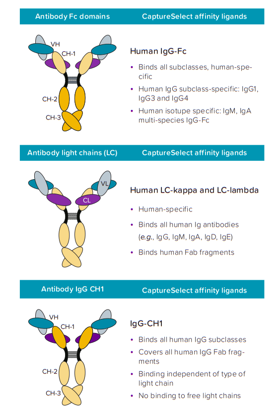 Overview of different antibody domains