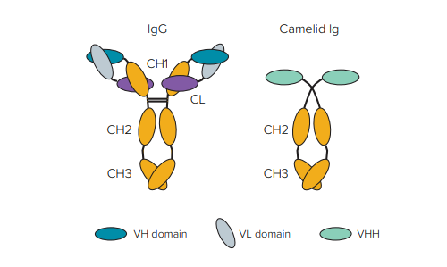 Comparison of conventional IgG structure