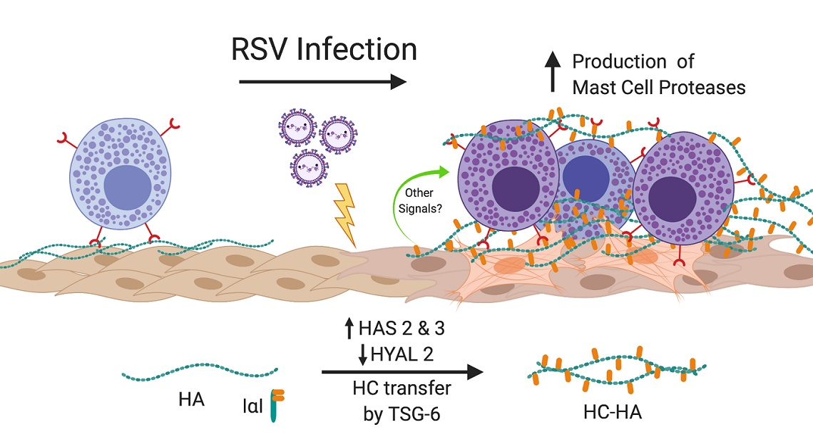 Infection of HLFs with RSV