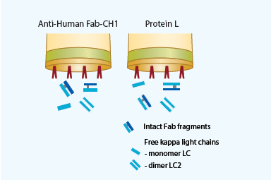 Selectivity of Anti-Human Fab-CH1 versus Protein