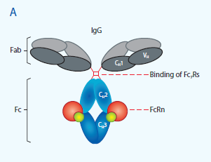 Structure of IgG showing sites for FcRn binding