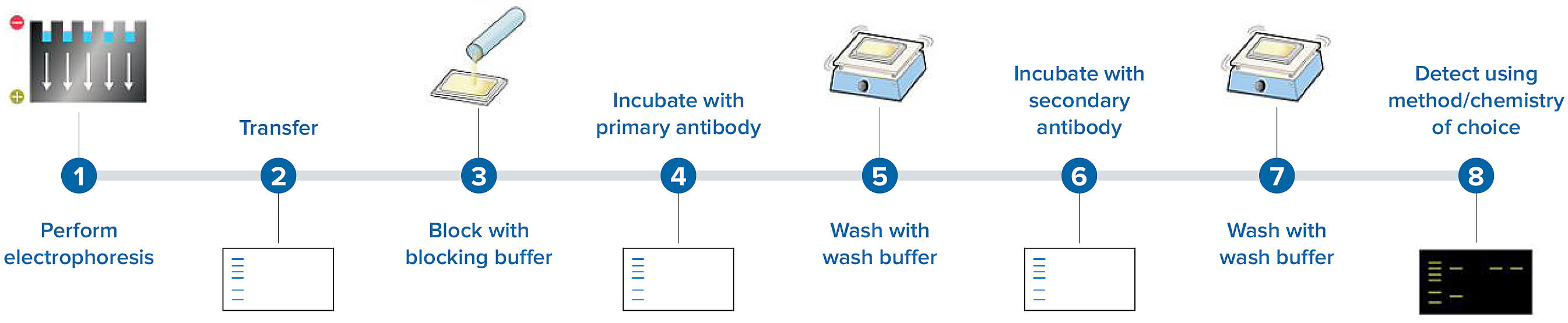 Western blot assay workflow