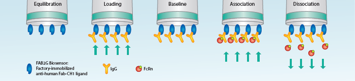 Workflow for FcRn-hIgG kinetic assay