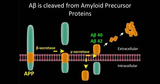 Effects of Amyloid-Beta Proteins on hSlo1.1, a BK Channel, in Xenopus Oocyte Model